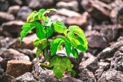 Zielona roślina r spod kamieni Obraz Stock