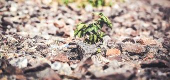 Zielona roślina r spod kamieni Obrazy Royalty Free