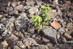 Zielona roślina r spod kamieni Zdjęcia Stock