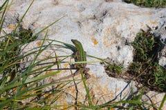 Zielona rockowa jaszczurka na kamieniu wśród trawy fotografia stock