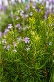Zielona rozmaryn roślina z lilymi kwiatami, aromatyczny kuchenny ziele zdjęcia royalty free
