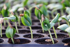 zielona rozsada Obraz Stock