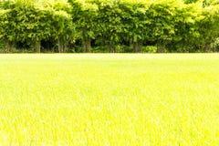 Zielona ryżowa bambusowa scena Fotografia Stock