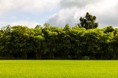 Zielona ryżowa bambusowa scena Obraz Stock