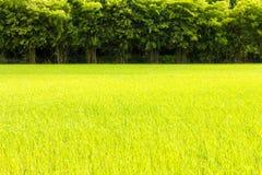 Zielona ryżowa bambusowa scena Obraz Royalty Free