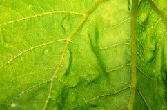 Zielona słonecznikowa liść tekstura fotografia royalty free