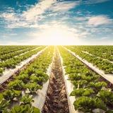 Zielona sałata na śródpolnym agricuture i niebieskim niebie Zdjęcia Stock
