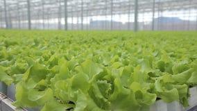 Zielona sałatka r w szklarni na hydroponika indoors zdjęcie wideo