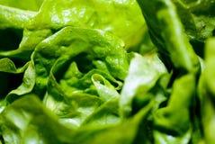 zielona sałata Fotografia Royalty Free