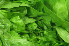 zielona sałata Zdjęcie Royalty Free