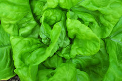 zielona sałata Zdjęcia Stock
