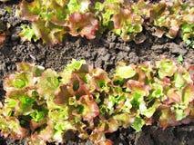 Zielona sałata w kuchennym ogródzie Zdjęcie Royalty Free