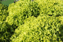 Zielona Sałatka Zdjęcie Royalty Free