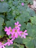 Zielona Shamrock koniczyna z purpurowymi kwiatami Obraz Stock