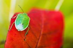 Zielona smród pluskwa Makro- Obrazy Royalty Free