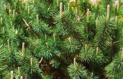 Zielona sosna i rożka zbliżenie Obraz Royalty Free