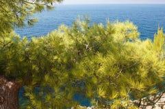 Zielona sosna nad bielem, Zdjęcie Royalty Free
