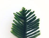 Zielona sosna opuszcza dla choinki odizolowywa na białym tle zdjęcia royalty free