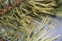 Zielona sosny gałąź po deszczu Obraz Stock