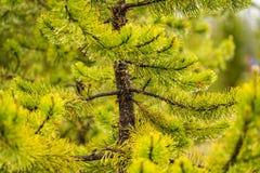 Zielona sosny gałąź z podeszczowymi kroplami obraz stock