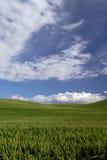 zielona spring pszenicy Fotografia Royalty Free