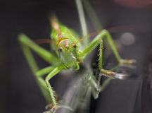Zielona szarańcza Fotografia Stock