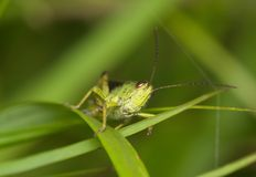 Zielona szarańcza na trawa liściu Zdjęcia Royalty Free