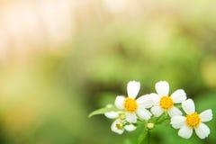 zielona tła natury Stokrotki trawa w miękkim kolorze i kwiat projektujemy Fotografia Stock