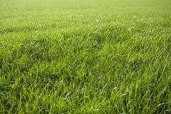 zielona tła wiosny łąkowa obraz royalty free