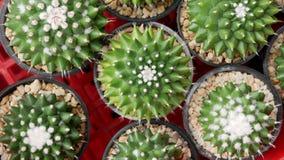 Zielona tłustoszowata kaktusowa kwiat roślina w czarnego plastikowego garnka odgórnym widoku obraz stock