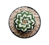 Zielona tłustoszowata kaktusowa kwiat roślina w czarnego plastikowego garnka odgórnym widoku odizolowywającym na białym tle, ścin obrazy royalty free