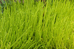 Zielona tłustoszowata roślina, houseplant dzwonił Jaszczurki ` s ogon, suwaczek P zdjęcia stock