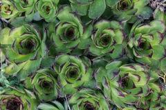 Zielona tłustoszowata tekstura Zdjęcie Royalty Free