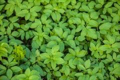 Zielona tekstura roślina Zdjęcie Royalty Free