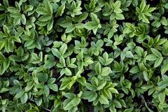 zielona tekstury ściany Obrazy Royalty Free
