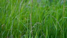 Zielona trawa zbiory wideo