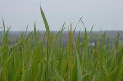 Zielona trawa Zdjęcie Royalty Free