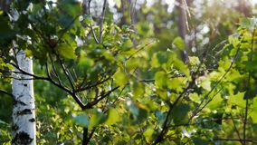 Zielona trawa i brzoza w pogodnym zmierzchu lesie zbiory