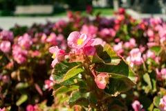 Zielona trawa i kwiaty w naturze zamyka w górę menchia kwiatu w parku obraz royalty free