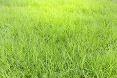Zielona trawa jako tekstura Zdjęcie Royalty Free