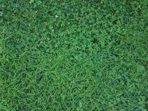 Zielona trawa, koniczyny i świrzepy Obrazy Royalty Free