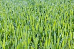 Zielona trawa mokra Obrazy Royalty Free