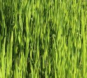 Zielona trawa na polu Zdjęcia Stock