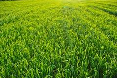 Zielona trawa na polu Obrazy Royalty Free