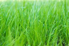 Zielona trawa na zielonym tle Obraz Stock