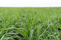 zielona trawa, pszeniczny dorośnięcie na polu, łąka, Rosja, jesień Fotografia Royalty Free
