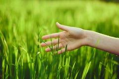 Zielona trawa, trawa, ręka trawa Fotografia Stock