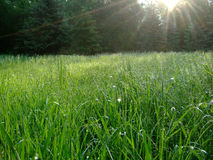 Zielona trawa w lesie z kroplami rosa shinny obrazy stock