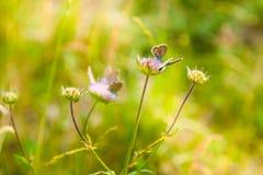 Zielona trawa w motylach i łące Zdjęcia Royalty Free