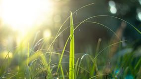 Zielona trawa w promieniach światło słoneczne, świecenie, naturalny tło zdjęcia stock